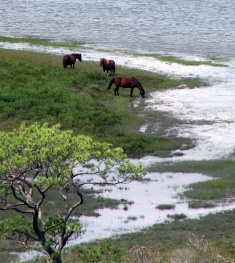 """Wild Horses of Chincoteague"""