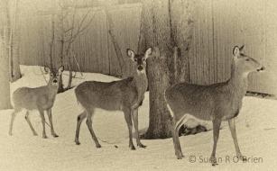 5_February_2013_Deer_In_The_Backyard_Creative007