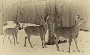 5_February_2013_Deer_In_The_Backyard_Creative007