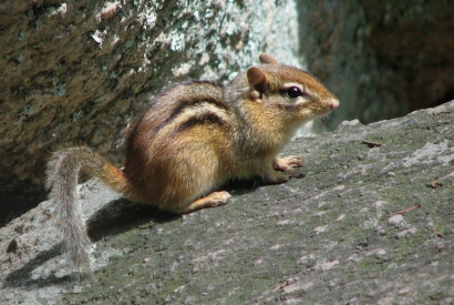 """Chipmunk In Purgatory Chasm"""