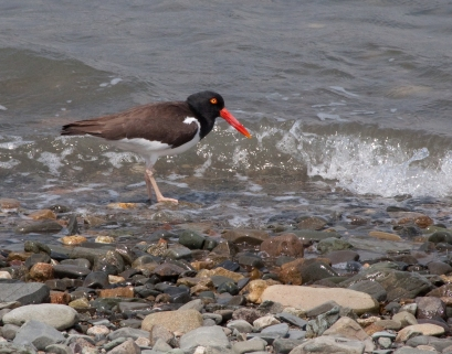 """Oyster Catcher on Rainsford Island"""